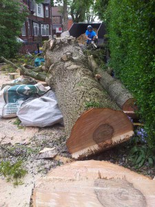 removing a large ash tree in old trafford
