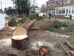 Felled onto logs to make the cross cutting easier and protect the lawn.