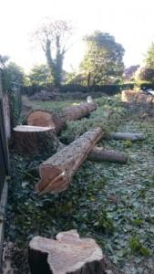 two poplars felled in Denton