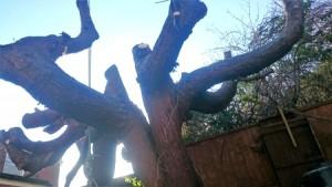 conifer trunk
