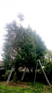 The conifer trees were beginning to shade out the garden too much.  Tim for a trim and reduction.