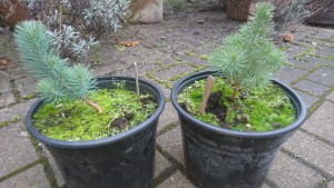 1 year old Stone Pine seedlings.