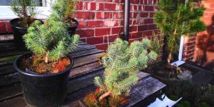 stone pine seedlings growing well