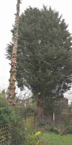 1 big conifer