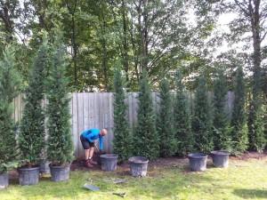 planting a leylandii hedge in timperley