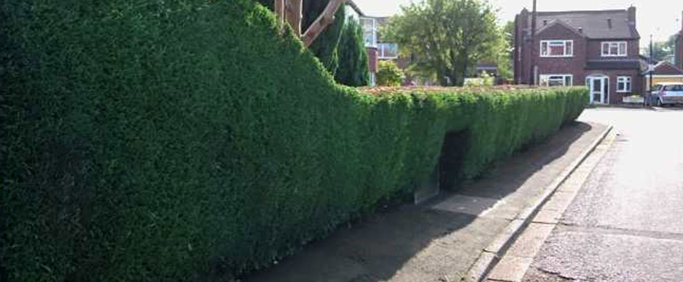 Hedges cut and reduced